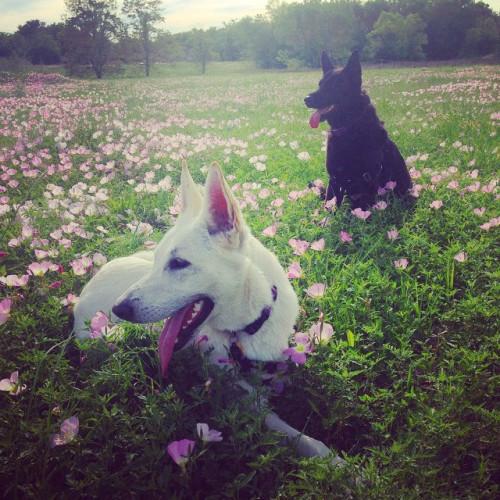primrose pups